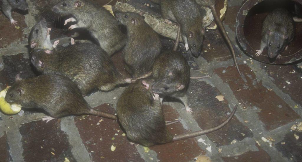 уничтожение крыс в Череповце
